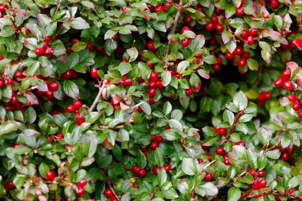 Wintergreen checkerberry teaberry berries